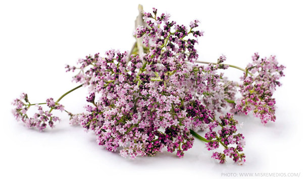A Greek And Unani Herbal: Valerian