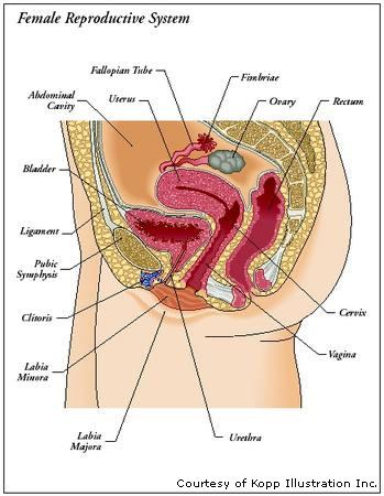 Greek Medicine The Female Reproductive System